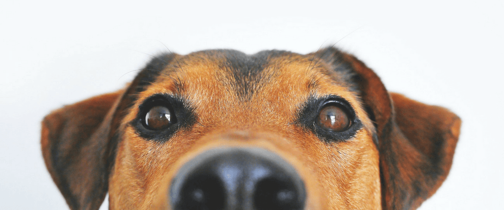Dog Anal Glands - What Every Dog Lover Needs to Know